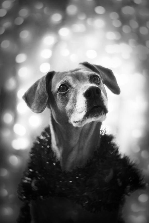 festive edi dog